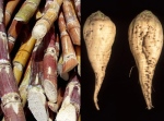 sugarcane&sugarbeet